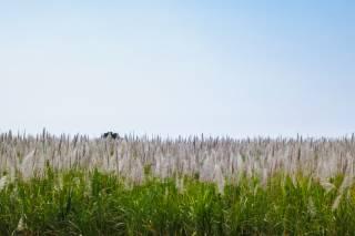 Sugar Cane Bloom