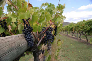 Grape Harvest in Yarra Valley