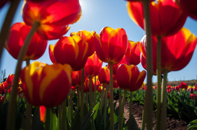Best time to see Tesselaar Tulip Festival in Melbourne