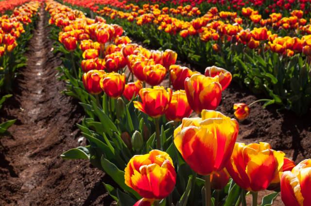 Tesselaar Tulip Festival in Melbourne - Best Season