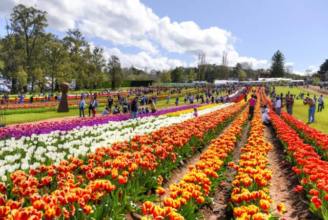 Tesselaar Tulip Festival in Melbourne - Best Time