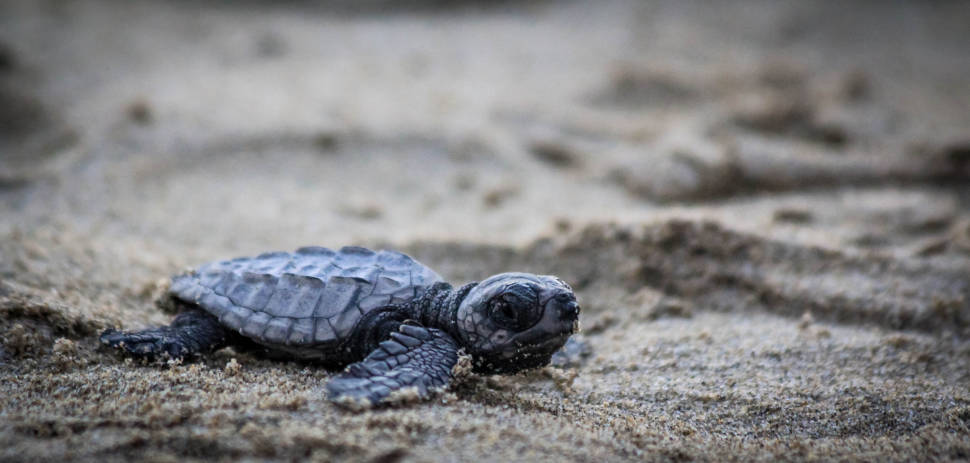 Olive Ridley baby sea turtle