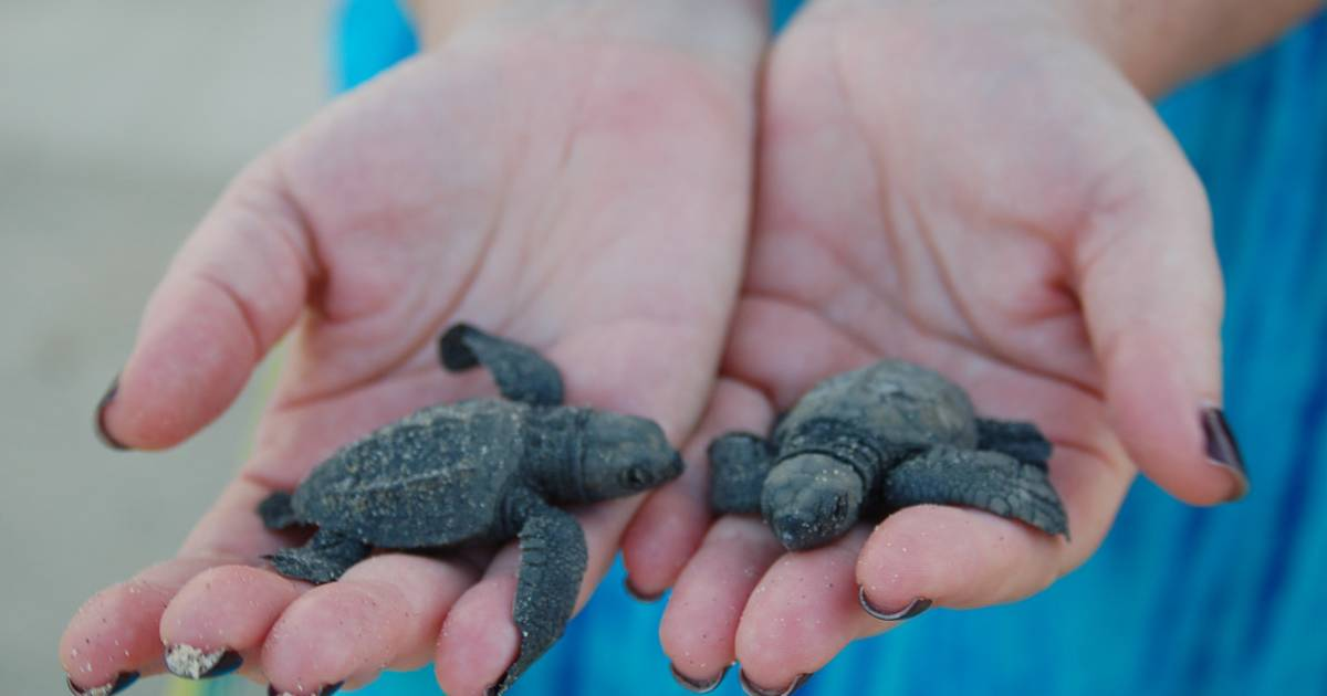 Baby Turtle Release in Mexico - Best Time