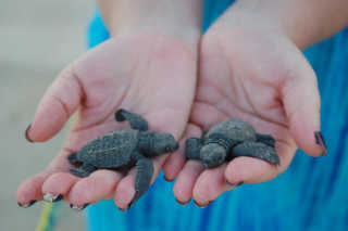 Baby Turtle Release