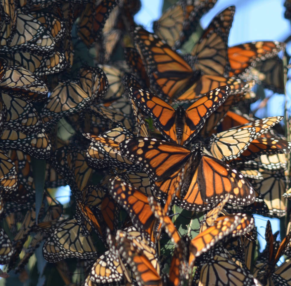 Best time for Monarch Butterfly Migration in Mexico