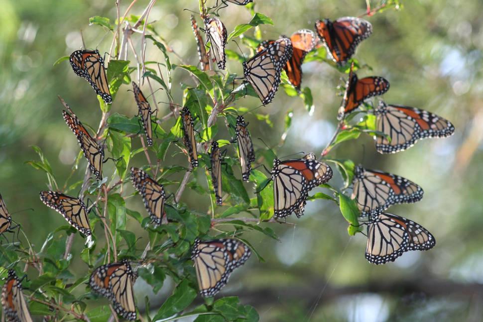 Monarch Butterfly Migration in Mexico - Best Season
