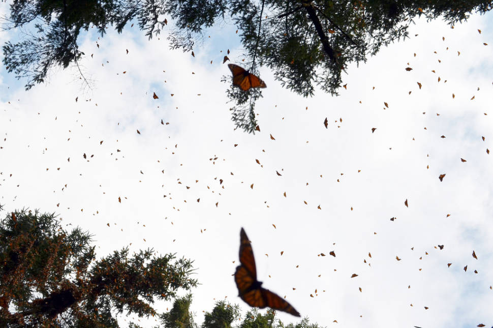 Best time to see Monarch Butterfly Migration in Mexico