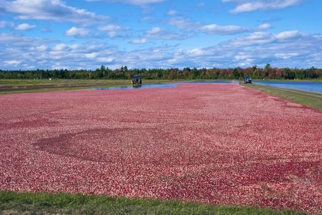 Wisconsin Cranberry Harvest in Midwest - Best Season