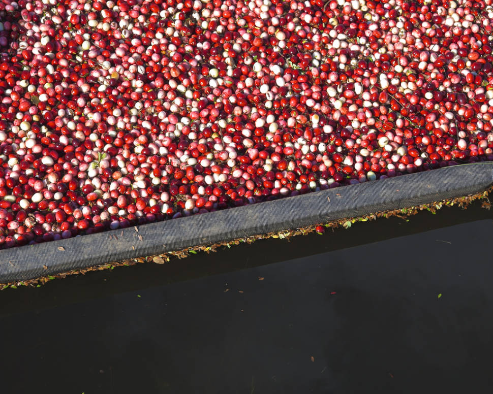Wisconsin Cranberry Harvest in Midwest - Best Time