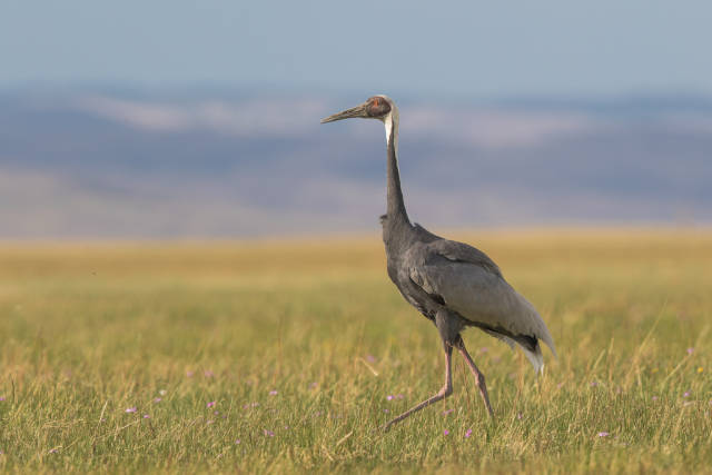 White-naped Crane (Grus vipio)