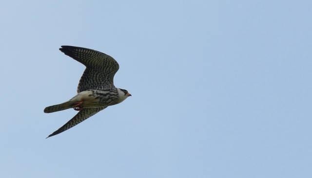 Falco amurensis (Amur Falcon)