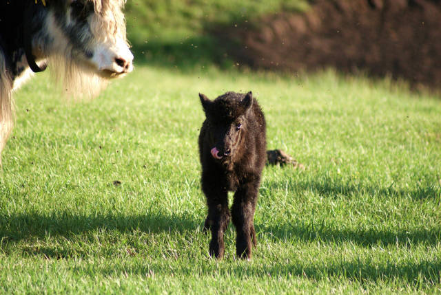 Baby yak