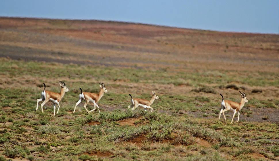 Black-tailed gazelle in South Gobi