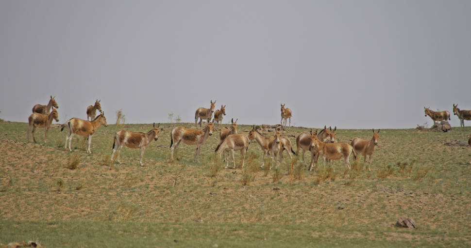 Onagers, also known as Asiatic wild ass