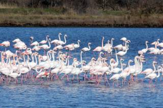 Flamingoes in Ulcinj