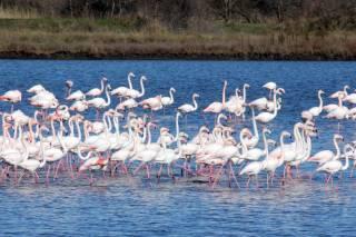 Flamingoes in Ulcinj