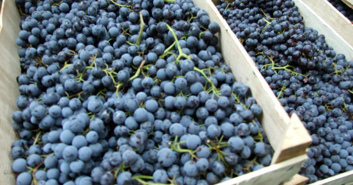 Grape Syrup in Montenegro - Best Time