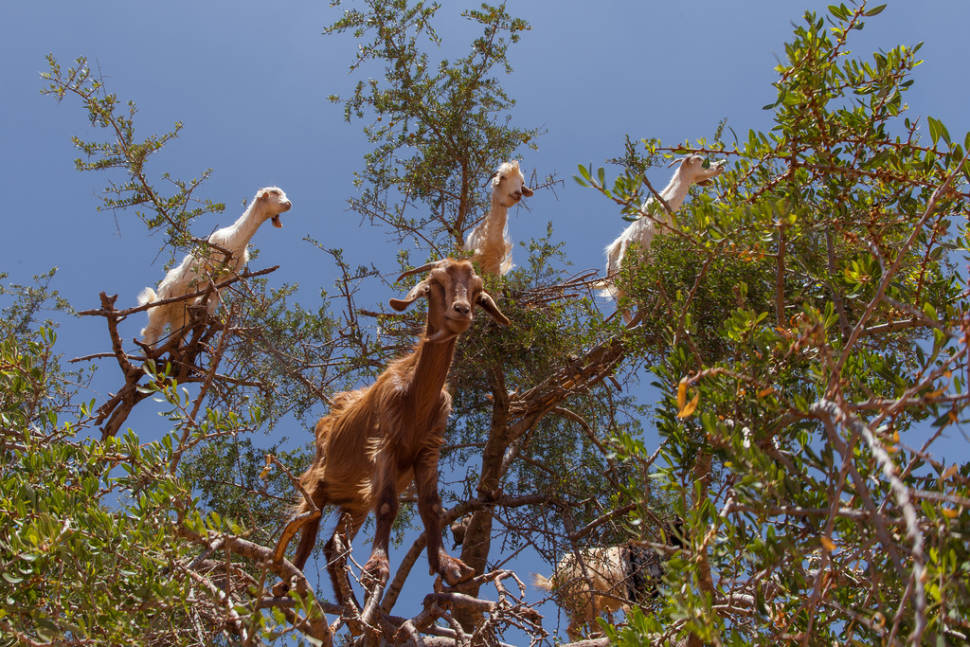 Best time for Goats of Souss Valley in Morocco