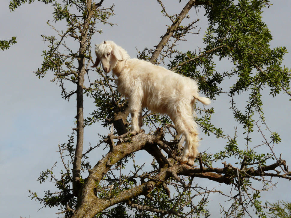 Goats of Souss Valley in Morocco - Best Season
