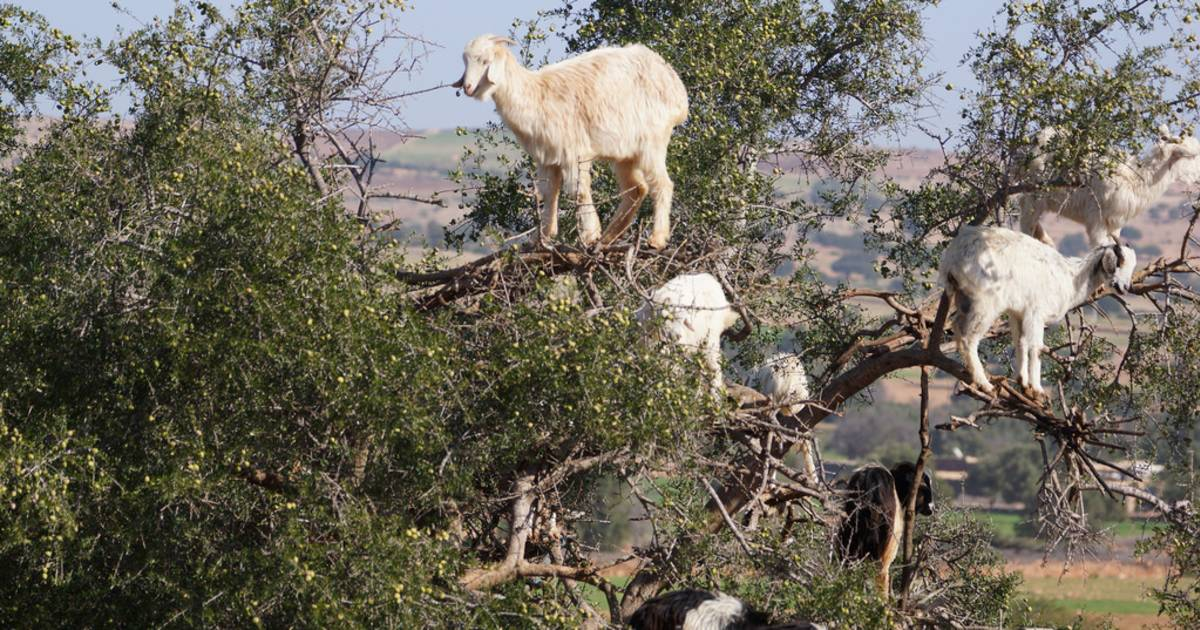 Goats of Souss Valley in Morocco - Best Time
