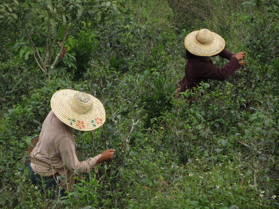 Workers harvesting tea on the hike around Kalaw