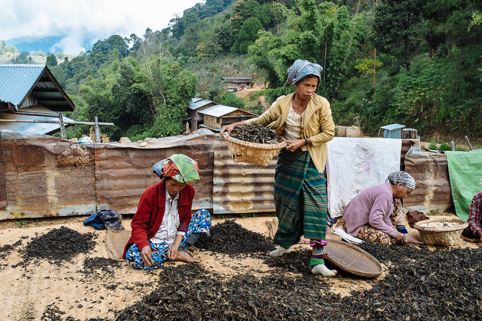 Burma's women preparing tea in Hsipaw: rough leaves are cut and then mixed with tender leaves