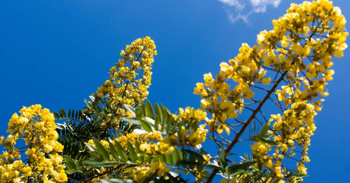 Padauk Blossom in Myanmar - Best Time