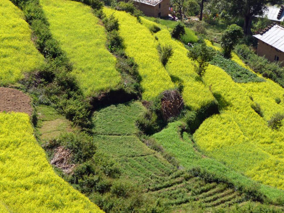 Mustard Fields in Bloom in Nepal - Best Season