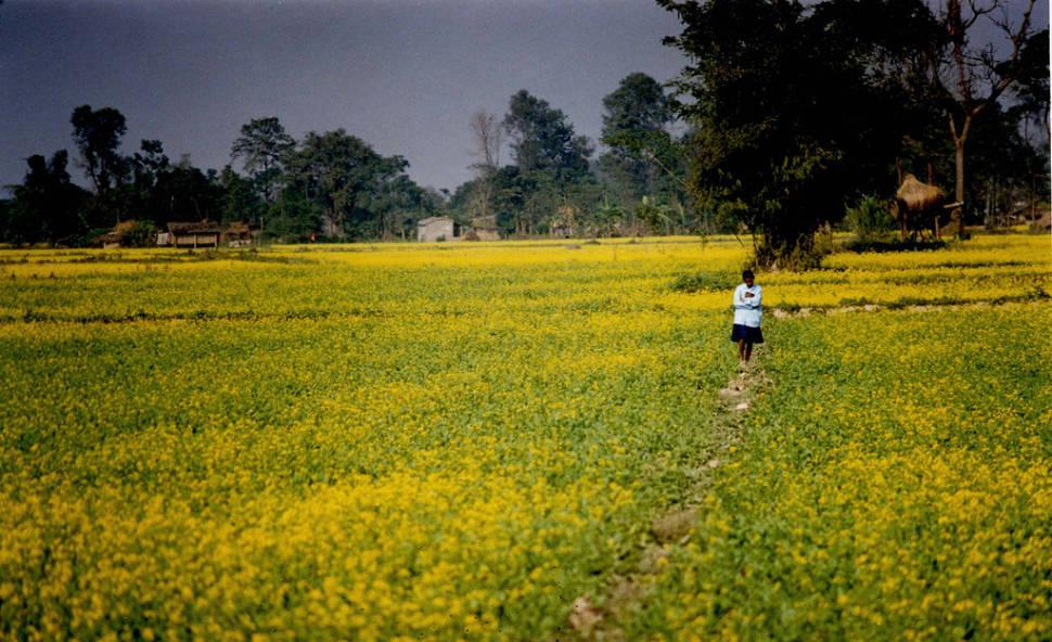 Mustard Fields in Bloom in Nepal - Best Time