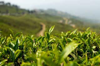 Nepal Tea Harvest Season