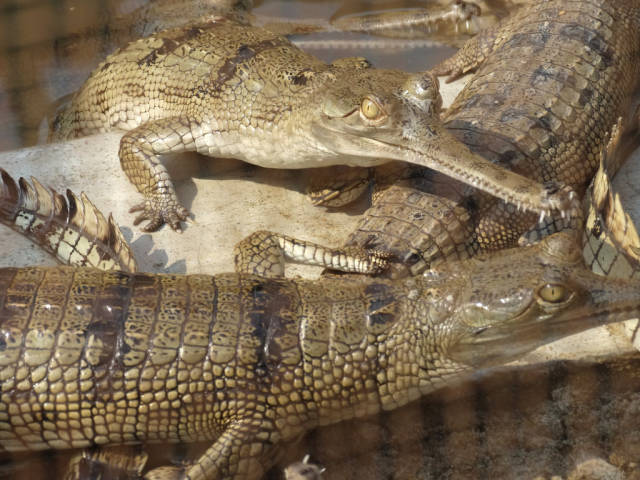 Gharial Crocodiles - Conservation Breeding Center