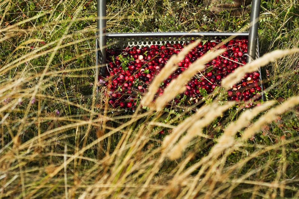 Cranberries at Terschelling and Vlieland in The Netherlands - Best Season