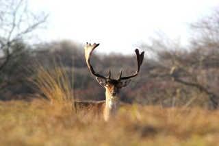Deers at Zandvoort aan Zee