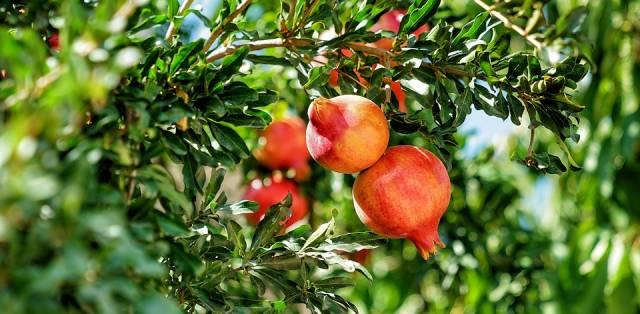 Pomegranate Season in Nevada - Best Time