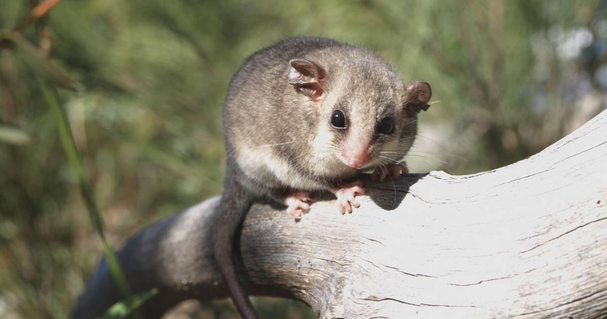 Mountain Pygmy Possum in New South Wales - Best Time