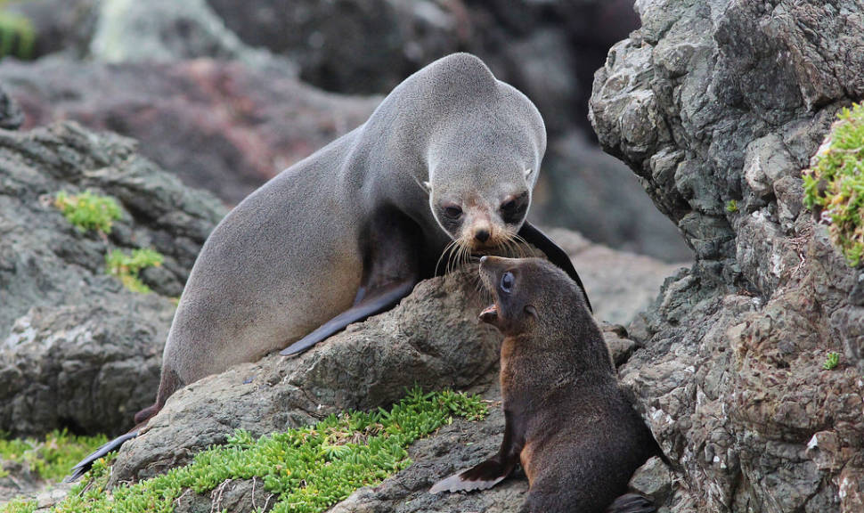 Baby Fur Seals Watching in New Zealand - Best Season