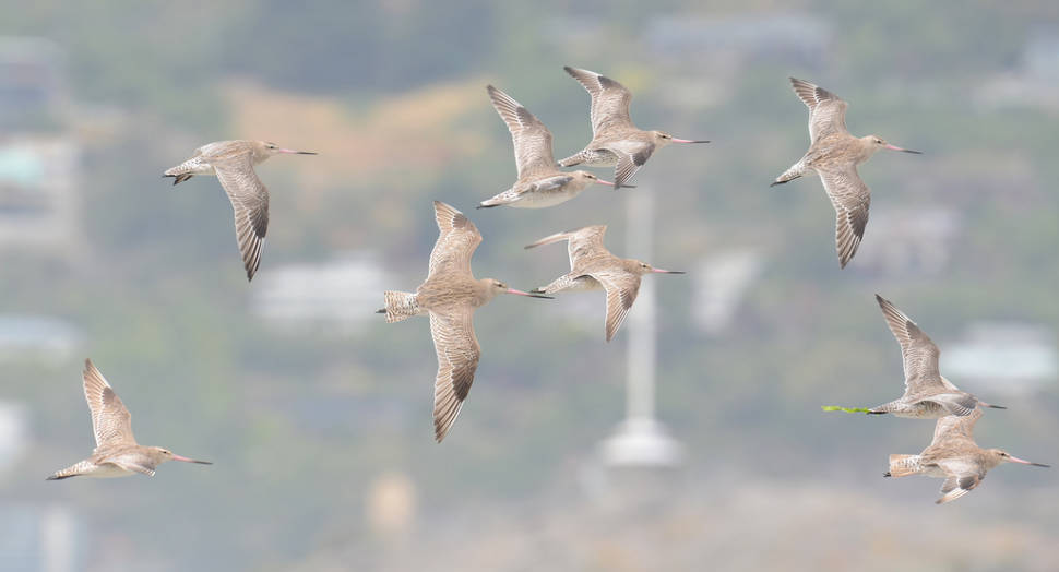 Best time to see Bar-Tailed Godwits in New Zealand