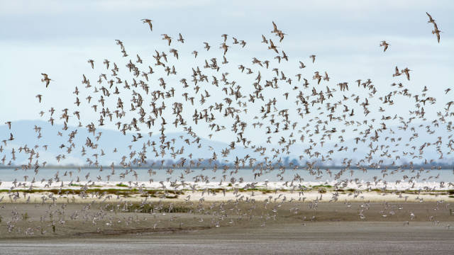 Best time for Bar-Tailed Godwits in New Zealand