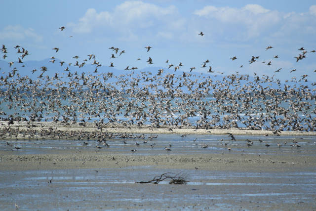 Bar-Tailed Godwits in New Zealand - Best Time