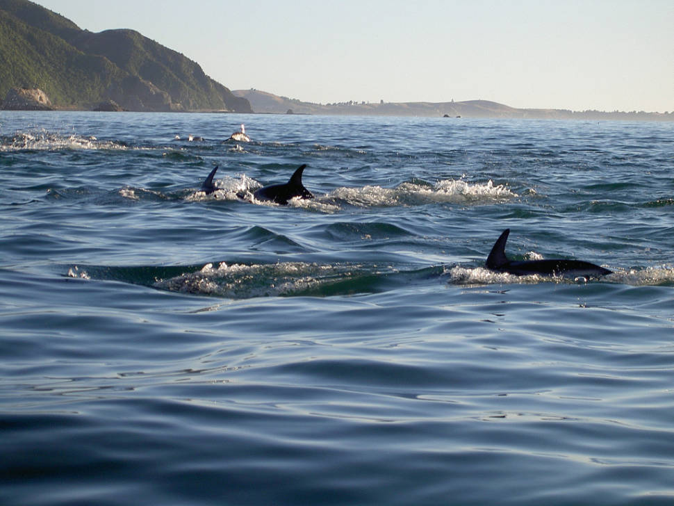 Dolphin Encounter in New Zealand - Best Season