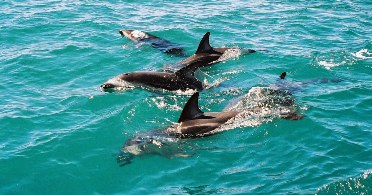 Dolphin Encounter in New Zealand - Best Time