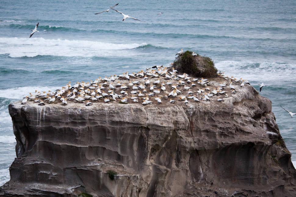 Gannet Colony in New Zealand - Best Season
