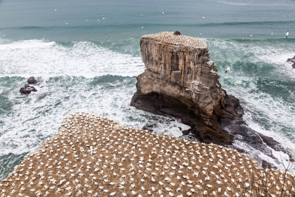 Best time for Gannet Colony in New Zealand
