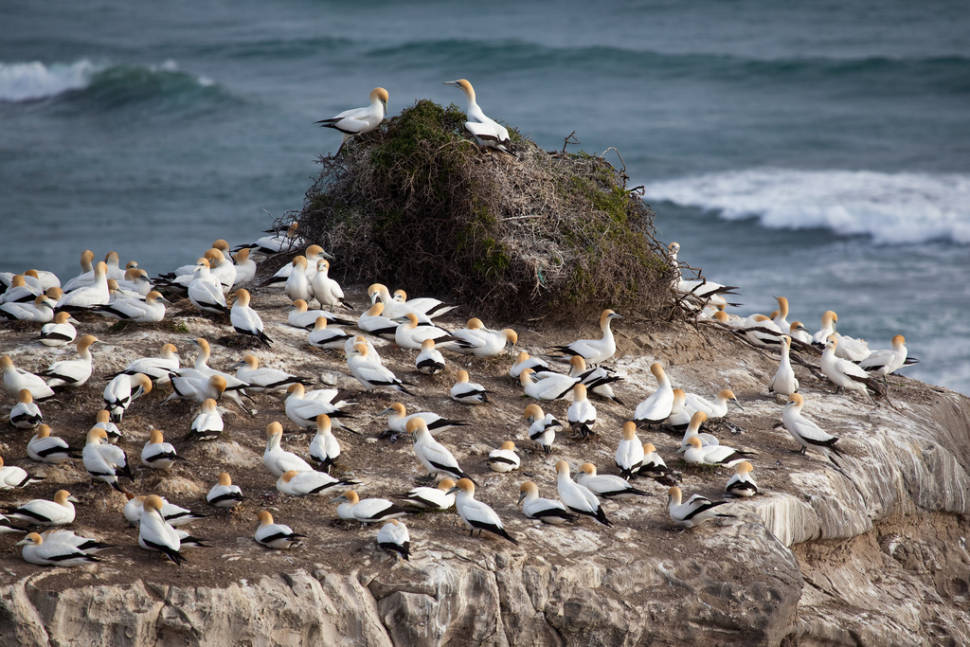 Gannet Colony in New Zealand - Best Time
