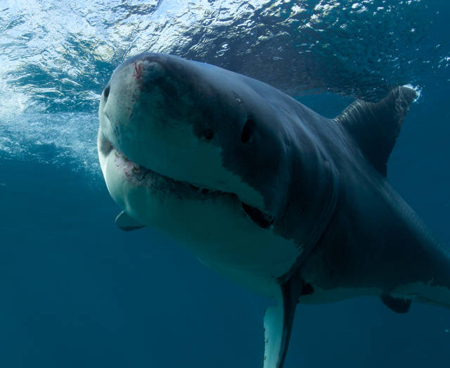 Great White Shark Cage Diving in New Zealand - Best Season