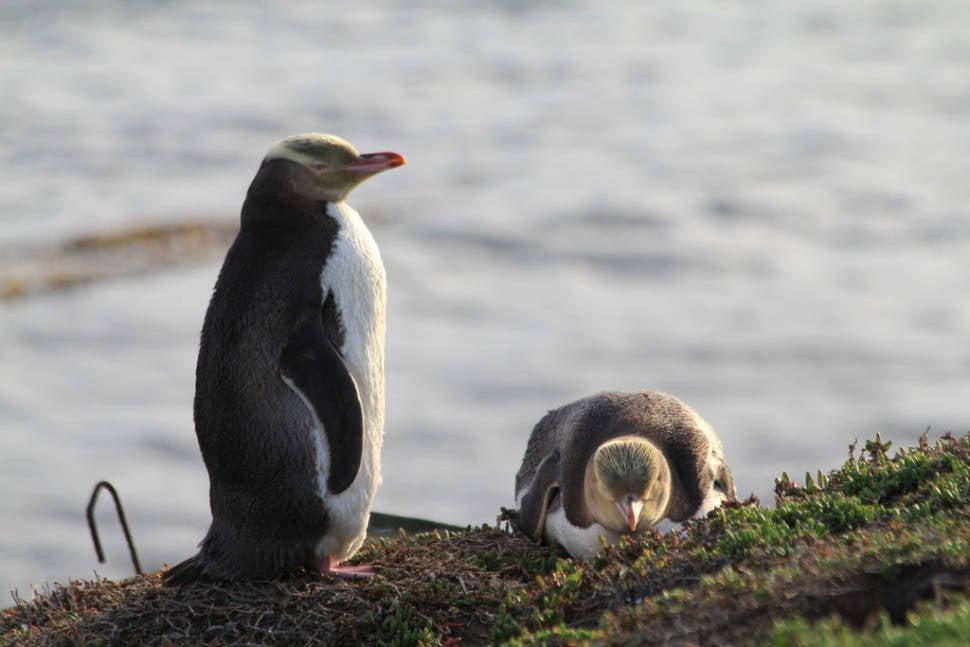 Hoiho–Yellow-Eyed Penguin in New Zealand - Best Season
