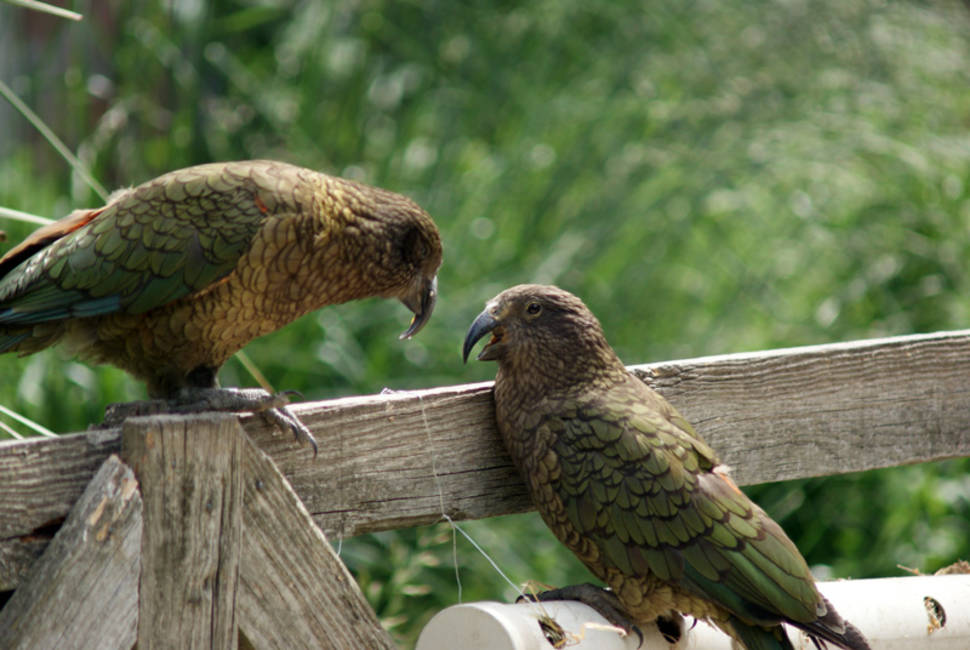 Best time to see Kea Bird in New Zealand