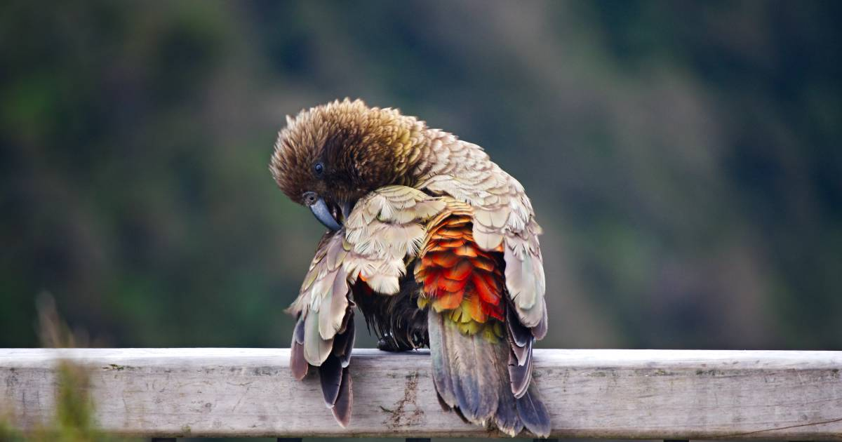 Kea Bird in New Zealand - Best Time