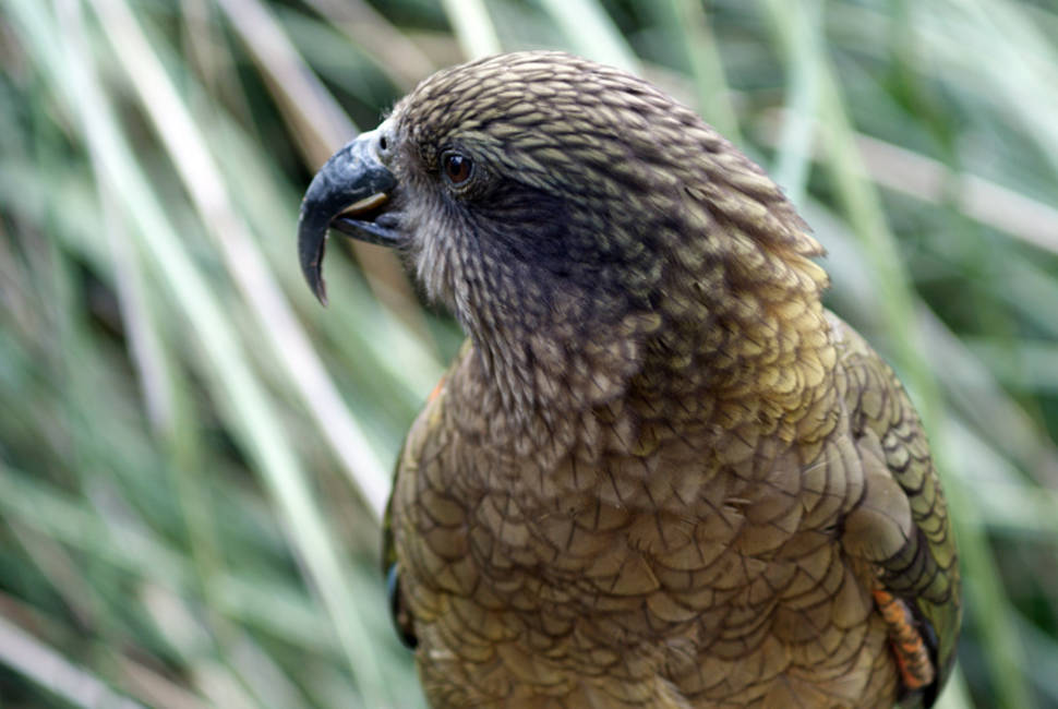 Kea Bird in New Zealand - Best Season