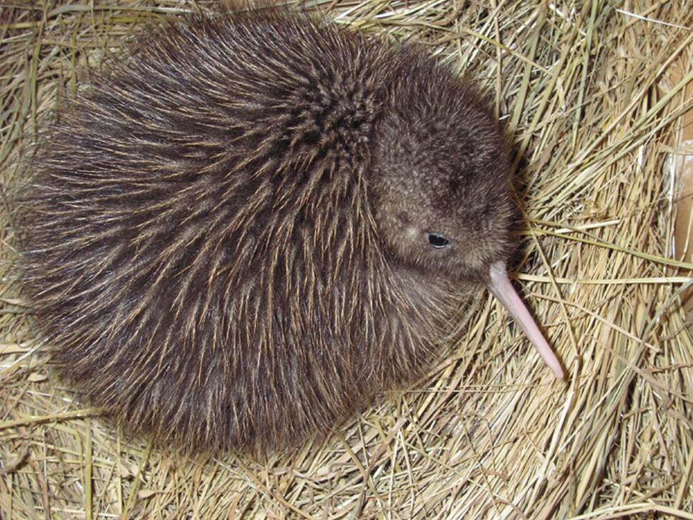 Okarito brown kiwi. Chick.